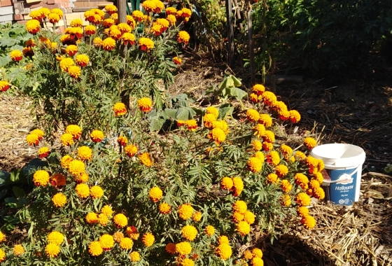 Marigold plant with many flowers, next to a white bucket
